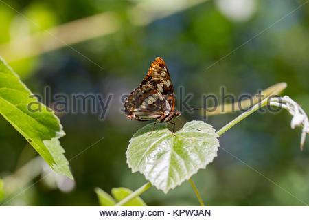 Lorquin's admiral - Limenitis lorquini - Stock Photo