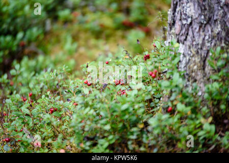 Ripe red lingonberry, partridgeberry, or cowberry grows in pine forest with white moss background - Stock Photo