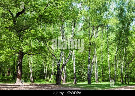 clearing in green oak and birch forest - Stock Photo