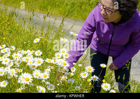hiker picking daisies in a meadow - Stock Photo