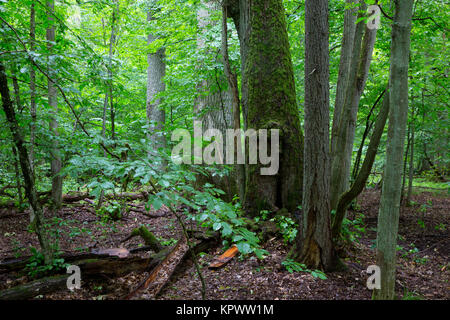 primeval deciduous stand of natural stand in summertime - Stock Photo