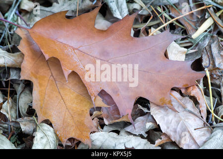 Fallen yellow oak leaves on the background of fallen leaves on the ground. - Stock Photo
