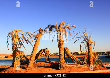 Old dead Palm Trees - Stock Photo