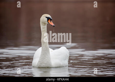 Stunning swan with drops of water from the beak - Stock Photo