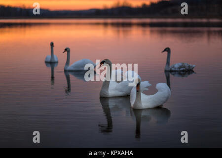 Group of swans on the lake with a wonderful sunset. - Stock Photo