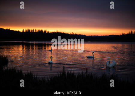 Wonderful group of swans on the lake with incredible sunset. - Stock Photo