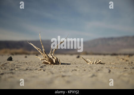 Death Valley National Park, California, USA. 19th Nov, 2017. Skeleton remains of plants rooted into the cracked - Stock Photo
