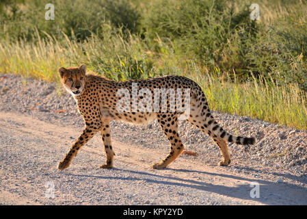 The Kgalagadi Transfrontier park between South Africa and Botswana is prime desert land for viewing wildlife in - Stock Photo