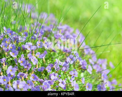 Small blue field flowers on sunlight alpine meadow - Stock Photo