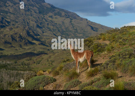 Guanaco (Lama guanicoe) standing on a hilltop in Valle Chacabuco, northern Patagonia, Chile. - Stock Photo