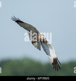 Marsh Harrier (Circus aeruginosus) Adult male with pray in flight, - Stock Photo