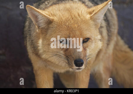 Portrait of Standing Fox Looking aside - Stock Photo