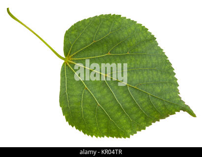 back side of green leaf of Tilia cordata tree - Stock Photo