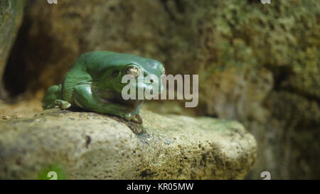 Green tree frog sleep on the stone. Frog sleeping in an aquarium at the zoo, the frog humbly sleeping - Stock Photo