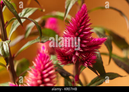 Celosia Argentea Cristata closeup photo - Stock Photo