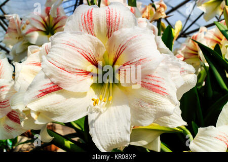 Large trumpet like white with a touch of pink Amaryllis flowers. - Stock Photo