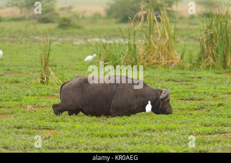 Closeup of Buffalo (scientific name: Syncerus caffer or 'Nyati or Mbogo' in Swaheli) feeding in  Lake Manyara National - Stock Photo