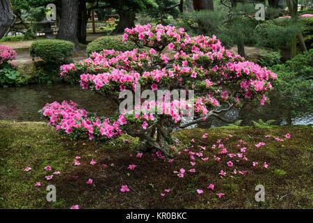 Kanazawa - Japan, June 9, 2017: Pink flowering azalea shrub in Gyokuseninmaru Garden at Kanasawa castle in springtime - Stock Photo