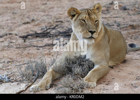 African lion (Panthera leo), lioness lying on sand at dusk, Kgalagadi Transfrontier Park, Northern Cape, South Africa, - Stock Photo