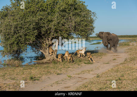 Elephant chases six lions away from tree - Stock Photo