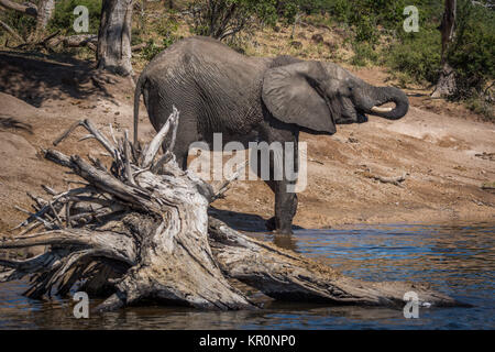 Elephant drinking from river behind dead tree - Stock Photo
