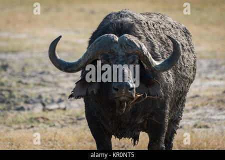 Close-up of Cape buffalo covered in mud - Stock Photo