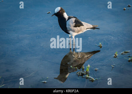 Blacksmith plover reflected in shallows with plants - Stock Photo