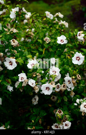 Hibiscus syriacus,rose of Sharon,Syrian ketmia,rose mallow,St Joseph's rod,Rosa de Sharon,white,deep red,flower,flowers,flowering,RM - Stock Photo
