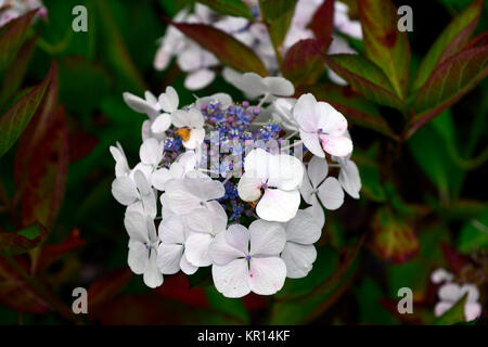 Hydrangea macrophylla,lacecap hydrangea,blue,flower,flowers,inflorescence,white,purple,hydrangeas,RM Floral - Stock Photo