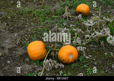 pumpkin,orange,ground,ripe,ready for picking,halloween,carving,fun,squash,edible,ornamental,vegetable,RM Floral - Stock Photo
