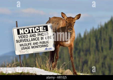 A female elk standing behind a sign that says there is video monitoring of this area as the photographer takes a - Stock Photo