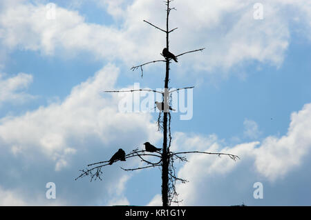 Silhouette of black crows on a dead tree - Stock Photo