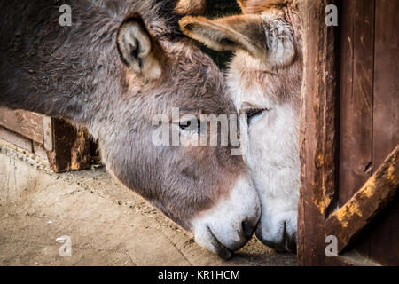 Donkey in love - Stock Photo