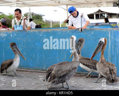 Brown Pelicans await their share in the fish market in Puerto Ayora. The Galápagos Brown Pelican (Pelecanus occidentalis - Stock Photo