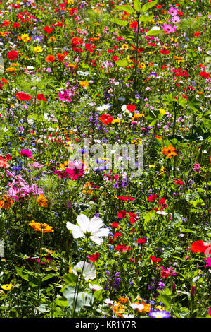 field of summer wild flowers, daisy, poppy, very colourful, yellow, green, blue, red, colours - Stock Photo