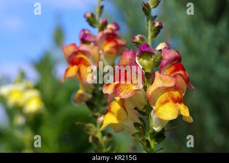 Löwenmaul Blumen im Sommergarten - snapdragon flower in summer garden - Stock Photo