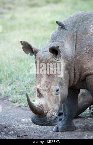 One white rhinoceros close-up portrait view, head and shoulders Lewa Wilderness,Lewa Conservancy, Kenya - Stock Photo
