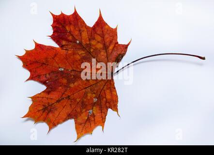 Autumn sheet, top maple, Herbstblatt, Spitzahorn - Stock Photo