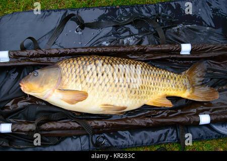 Close up on large carp fish - Stock Photo