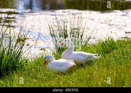 Couple of cute american peking ducks - Stock Photo