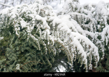winter covered with fluffy snow paws spruce - Stock Photo