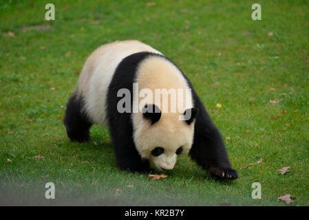 Panda Meng Meng, zoo, zoo, middle, Berlin, Germany, Zoo, Tiergarten, Mitte, Deutschland - Stock Photo