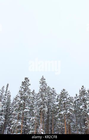 Portrait orientation of pine trees in winter, minimalism background - Stock Photo