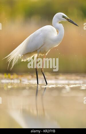 Great egret (Ardea alba), located in the water, National Park Kiskunsag, Hungary - Stock Photo