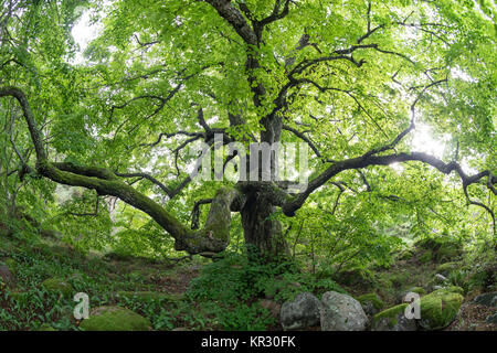 Old linden tree in the evening. Forest in summer. Mohni, small island in Estonia, Europe. - Stock Photo