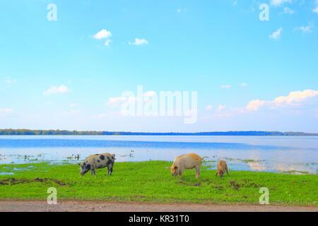 Farm animals on green meadow, flooded field in background, Lonjsko polje, Croatia - Stock Photo