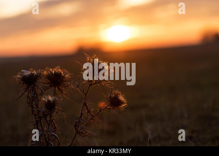Beautiful sunrise with thistle flowers in foreground. - Stock Photo
