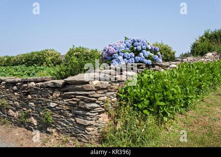 blue hydrangeas behind a stone wall in Galicia, Spain - Stock Photo