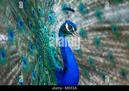 Splendid peacock with feathers out (Pavo cristatus) (shallow DOF  color toned image) - Stock Photo