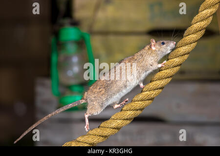 Wild Brown Rat (Rattus norvegicus) walking on anchor rope in harbor warehouse setting - Stock Photo